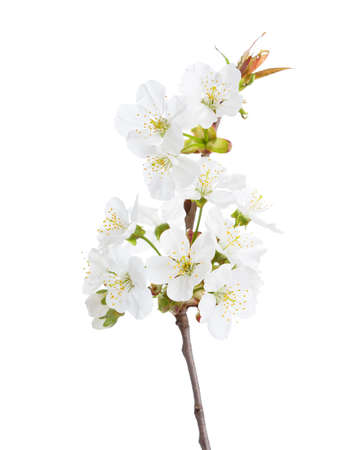 Photo for Sweet cherry in blossom isolated on white. Selective Focus. - Royalty Free Image