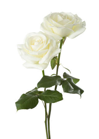 Photo pour Two white  roses isolated on white background - image libre de droit