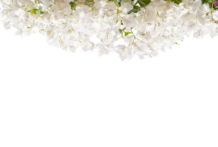 Foto de White blooming Bougainvillea  isolated on white background. - Imagen libre de derechos