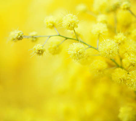 Photo pour Close-up of mimosas yellow spring flowers on defocused yellow background. Very shallow depth of field.  Selective focus. - image libre de droit