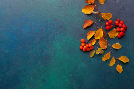 Photo for Two branches of autumn leaves (Spiraea Vanhouttei) and small red fruits Rowans on a dark blue-green painted wooden background. - Royalty Free Image