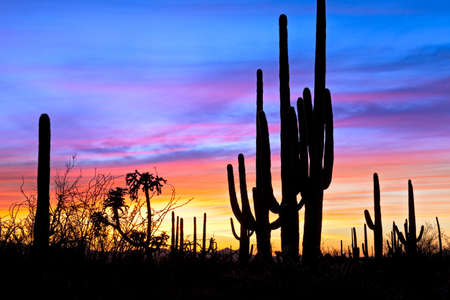 Photo for Saguaro silhouetten in Sonoran Desert sunset lit sky. - Royalty Free Image