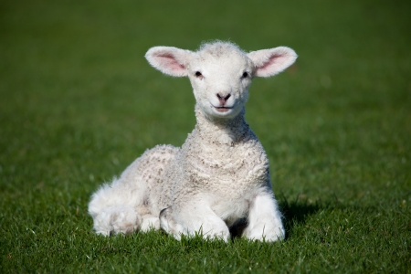 Photo pour Lamb on a green grass - image libre de droit