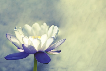 Photo pour Water lily - image libre de droit