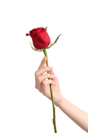 Photo for Beautiful woman hand holding a red rose and showing her manicure on a white isolated background                - Royalty Free Image