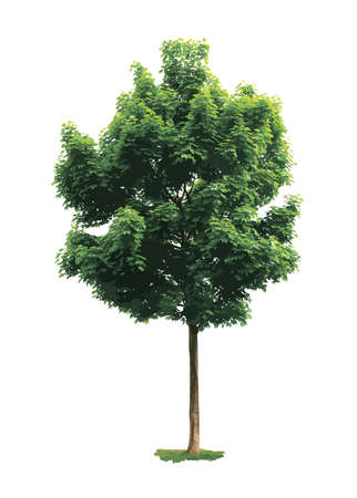 Illustration for Green maple tree isolated on white background. - Royalty Free Image