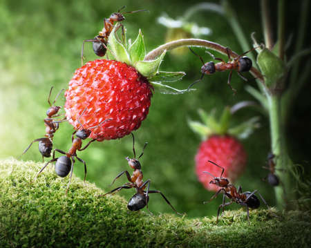 Photo pour team of ants gathering wild strawberry, agriculture teamwork - image libre de droit