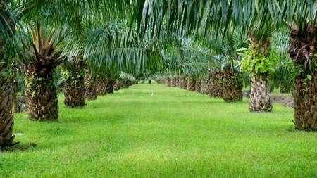 Photo pour Palm plantation - image libre de droit