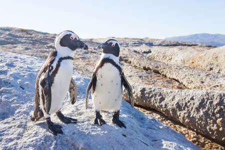 Photo pour Couple of penguins in love - image libre de droit