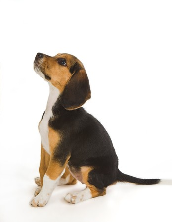 Cute little Beagle puppy dog begging