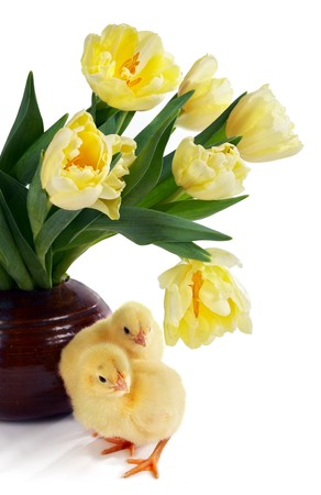 Two easter chicks, only 24 hours old, and a bouquet of yellow tulips