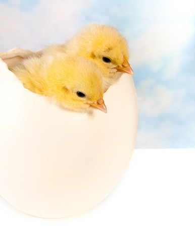 Twin easter chicks in a big ostrich egg