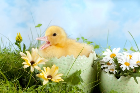 Newborn easter duckling in a flower garden