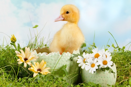 Peeping newborn easter duckling in a daisy garden