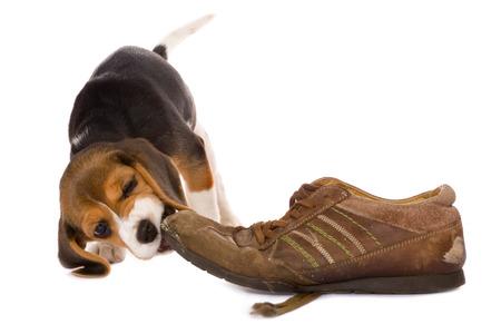 Photo pour Seven weeks old cute little beagle puppy chewing on an old shoe - image libre de droit