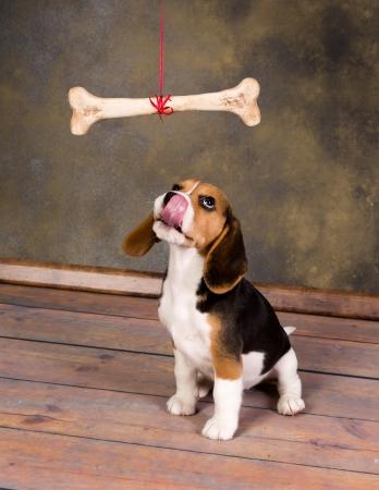 cute little beagle puppy watching a huge bone
