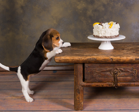 Seven weeks old cute little beagle puppy watching a delicious frosted cake