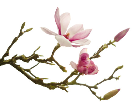 Photo pour Branch of Magnolia flowers in full blossom in springtime - image libre de droit