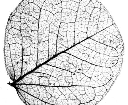 Photo pour Background textured image made of delicate leaf veins - image libre de droit
