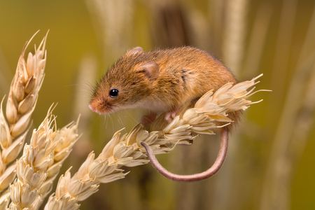 Foto de Micromys minutus or Harvest Mouse in wheat field - Imagen libre de derechos