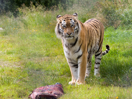 Photo pour Endangered Amur tiger species as found in Russia, China and Korea - image libre de droit