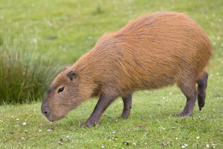Photo pour South American Capybara or hydrochaeris is the largest rodent in the world - image libre de droit