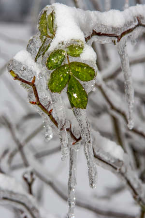 leaves covered in ice