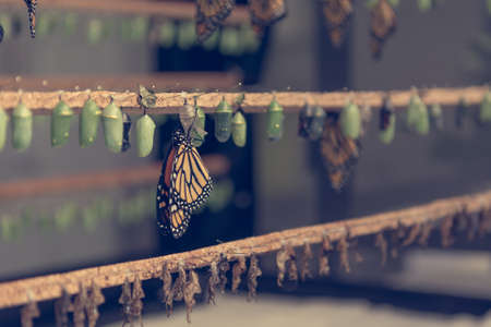 Foto de Many butterfly cocoons in diferent stages of development. - Imagen libre de derechos