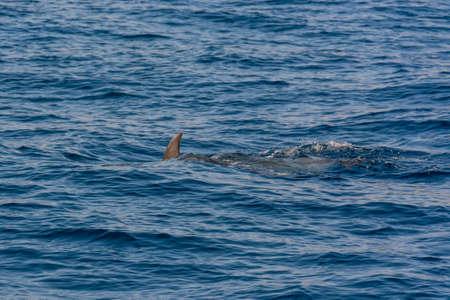 Foto de Dolphins swimming in waste blue ocean - spectacular experience of encountering sea animals. - Imagen libre de derechos