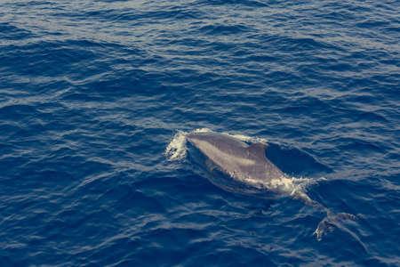 Foto de Dolphin comming to the surface of sea to breath and look around. - Imagen libre de derechos