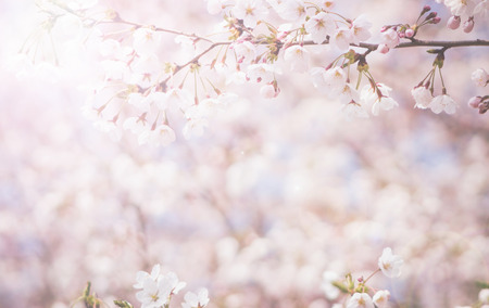 Photo for abstract cherry blossom  [Soft focus, Background] - Royalty Free Image