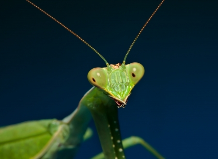 Macro shot of a green praying mantis with blue background
