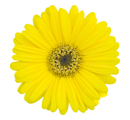 Foto de yellow gerbera flower isolated on white with clipping path - Imagen libre de derechos