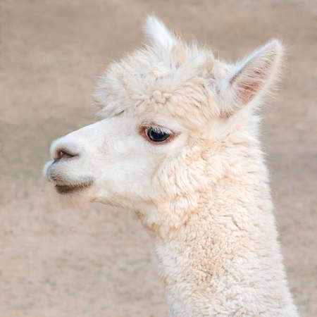 Photo for Close-up alpaca portrait - Royalty Free Image