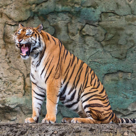 Photo pour Tiger sitting and roaring in the forest. - image libre de droit
