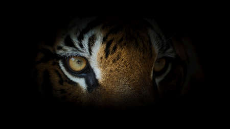 Photo pour Tiger face and eye on black background. (Panthera tigris corbetti) in the natural habitat, wild dangerous animal in the natural habitat, in Thailand. - image libre de droit