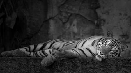 Photo pour White Tiger relaxing bedtime. (Panthera tigris corbetti) in the natural habitat, wild dangerous animal in the natural habitat, in Thailand.