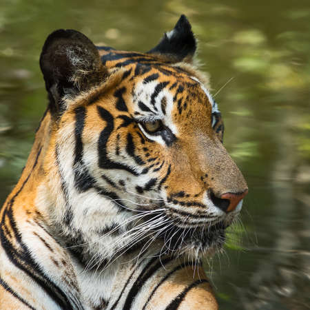 Photo pour The tiger is focusing on something seriously. (Panthera tigris corbetti) in the natural habitat, wild dangerous animal in the natural habitat, in Thailand. - image libre de droit