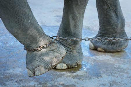 Photo pour Elephant chained end of freedom. - image libre de droit