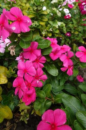 Foto de Bright deep pink flowers of Catharanthus roseus - Imagen libre de derechos