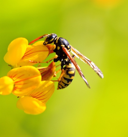 a wasp in a yellow flower