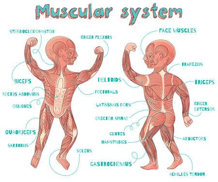 Illustration pour Human muscular system for kids. Vector color cartoon illustration. Human muscles scheme. - image libre de droit