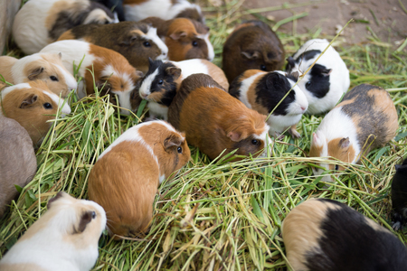Many different guinea pigs in grass, close up