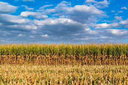 Photo for Enchanting landscape on threshed cornfield and cloudy blue sky - Royalty Free Image