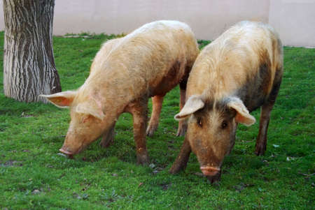 Two free living pigs on green grass