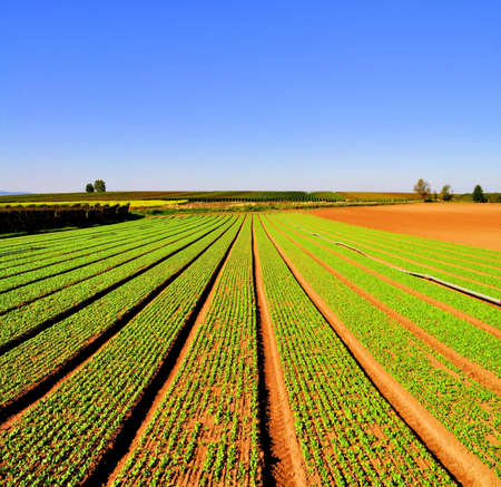 Photo pour Agriculture landscape with rows of salad - image libre de droit
