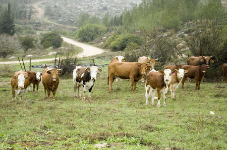 group of twelve cows in a pasture , off a dirt road  with view of Israel's hill side