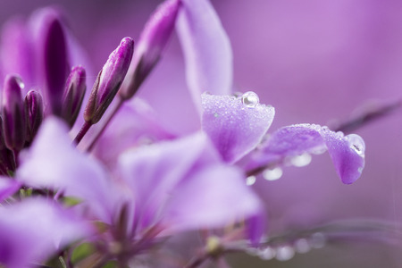 Photo pour close up of morning dew on purple blossoms - image libre de droit