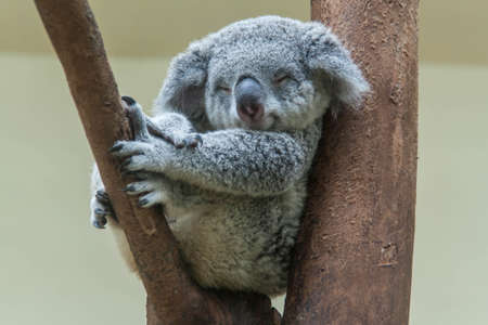 Photo pour koala resting and sleeping on his tree - image libre de droit