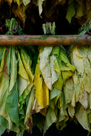Photo pour Tobacco leaves drying - image libre de droit